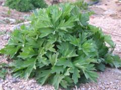 医草艾草或许将成为一种治未病,改变世界的植物