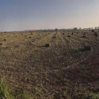 优质艾草、艾根出售,指导种植技术,包成活率,欢迎实地考察
