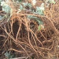 有300亩两年优质艾草根,中介勿扰!